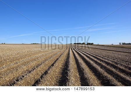 Harvest Time Potatoes