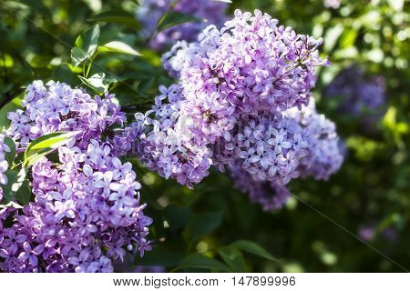 Sweet Lilac on the green background. Lilac flowers. Green branch with spring lilac flowers. Lilac bush