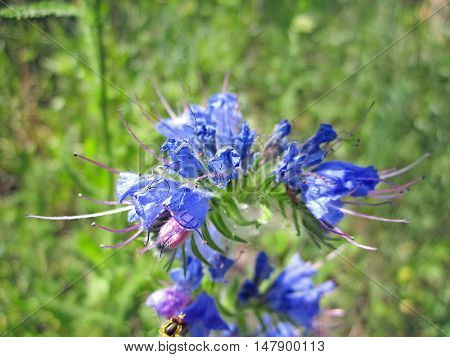 Bug flying around beautiful blue flower and blured backgraund.