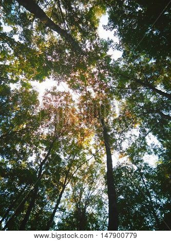 Spring Summer Sun Shining Through Canopy Of Tall Trees. Sunlight In Deciduous Forest, Summer Nature. Upper Branches Of Tree. Low Angle View. Woods Background. Photographed in Moscow.