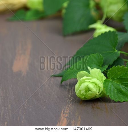 Fresh hop cones leaves on the wooden background. Close-up. Autumn. Brewing. Ingredients. Natural Medicine.