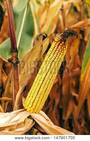 Corn ear on stalk in maize field