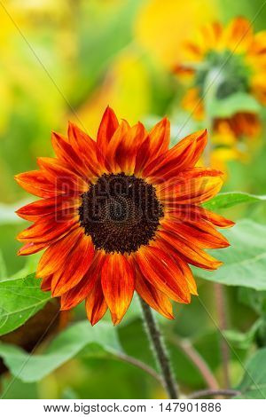 Red sunflowers blooming in cultivated agricultural field