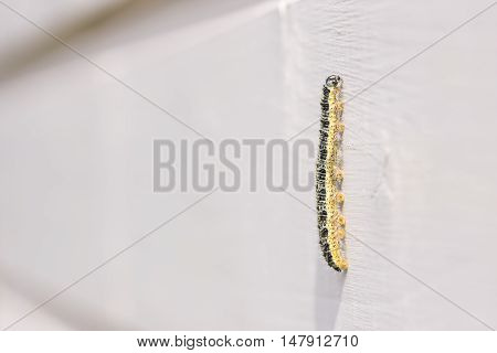 Closeup of yellow butterfly larva climbing on a timber wall