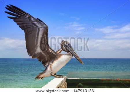 The big pelican is going to fly up over the sea