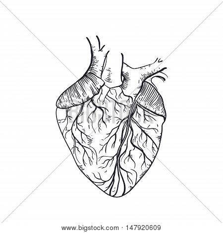 Vector hand drawn anatomic human heart. Vintage style sketch isolated on a white background
