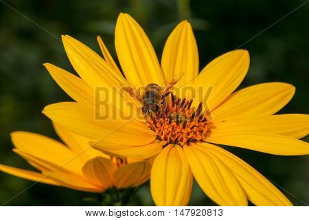 Bee Pollinating Rudbeckia Bright Yellow Flower