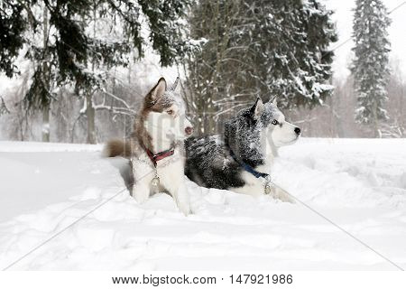 Two Adult Dogs In The Snow. Husky. Age 3 Years