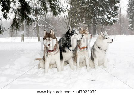 Group Of Dogs In Snow Drifts. Husky Hamming. Age 3 Years