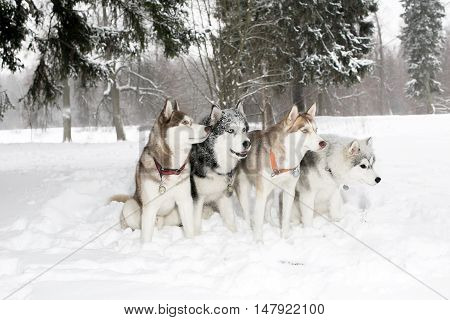 Group Of Four Dogs In The Snow Drifts. Husky. Age 3 Years