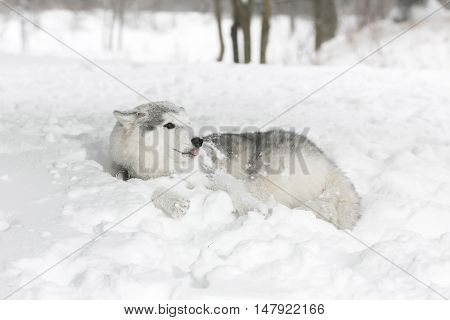 White Husky Puppy Lying In The Snow. The Puppy Is Afraid