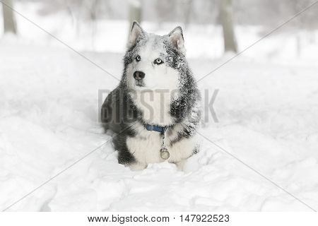 portrait Dog in the snow. Samoyed. age 4