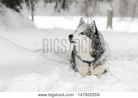 Dog in the snow in forest. Samoyed. Curious