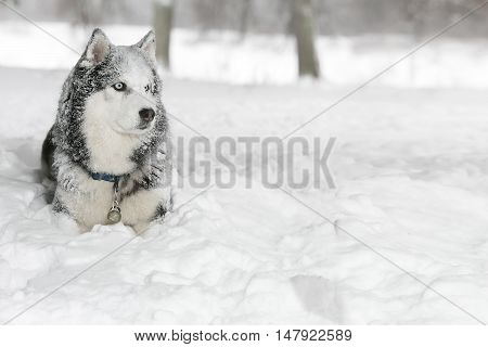 Dog In The Snow. Samoyed. Looking Into The Distance