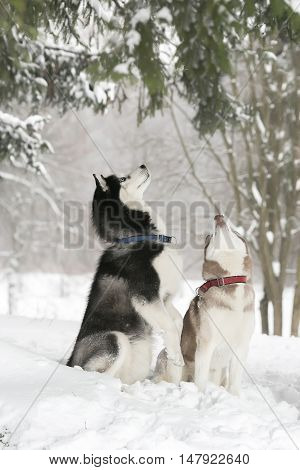 Two Dogs In Snow Executes The Command To Serve