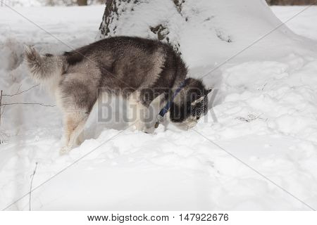 the dog looks in the snow in forest