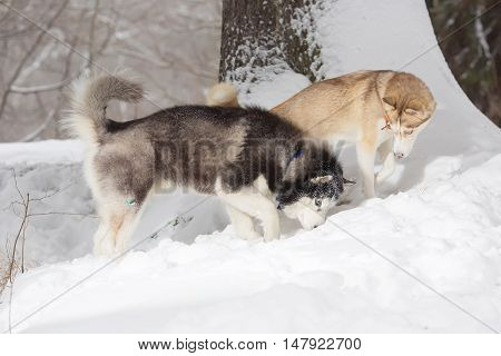 Two dogs looking in the snow. Forest