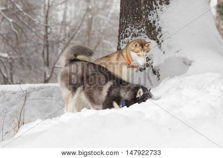 Two Dogs Looking In The Snow. Huskies And Husky