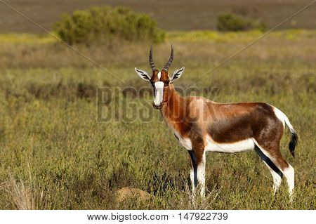 Bontebok In The Perfect Pose