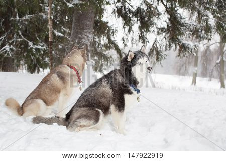 Husky in the snow. Winter. Forest. group dogs