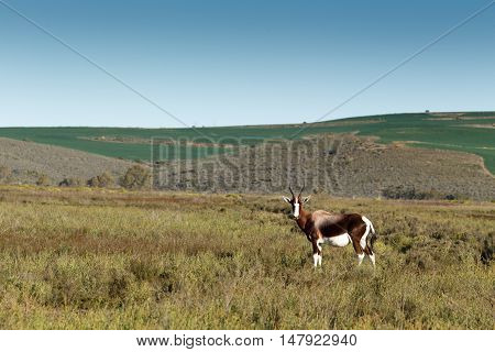Bontebok In A Wide Open Field