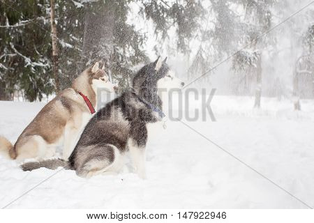 Dogs snow falling. Winter. Forest. grop two husky