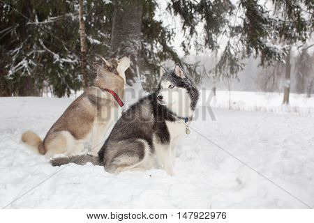 Two Dogs Sit In The Snow And Look Around. Winter. Forest. Husky