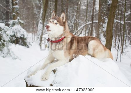 Red Dog In The Snow . Winter. Forest. Husky