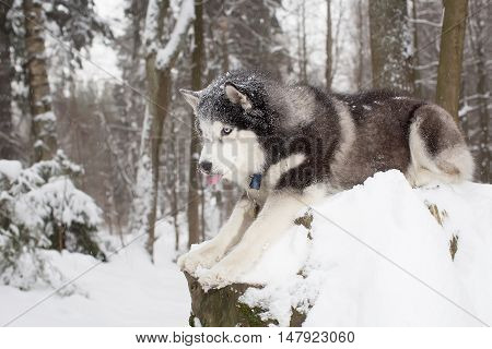 Curious Dog In The Snow . Winter. Forest. Husky