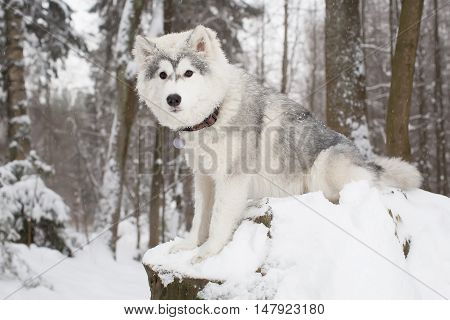 Cute Fluffy Dog In Winter Forest. Husky