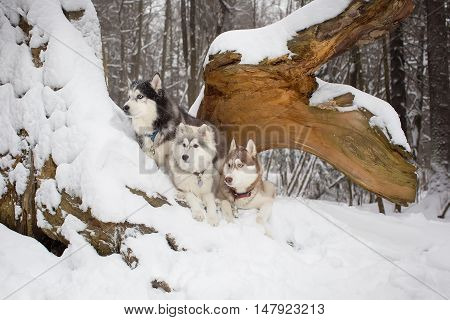 Group Of Dogs In The Winter Woods. Husky