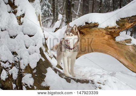 Beautiful Dog In A Snowy Forest At The Tree. Husky.