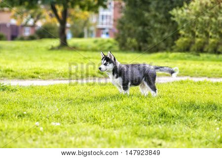The husky puppy on the road black and white color