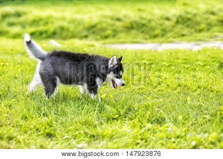 The husky puppy walking on the grass