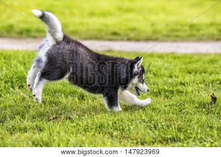 Puppy husky jump black and white color