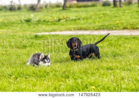 Puppies husky and taxes play on the grass. Grop dogs on the grass