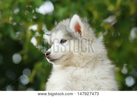 Fluffy charming white Malamute. puppy. 2 months
