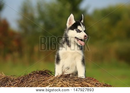 Puppy Husky With  Different Color Eyes Sitting On The Dry Grass