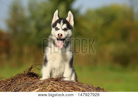 Puppy Husky With  Different Color Eyes With His Tongue Hanging Out