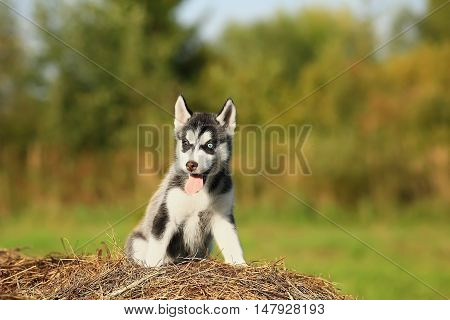 Funny puppy husky with different colored eyes