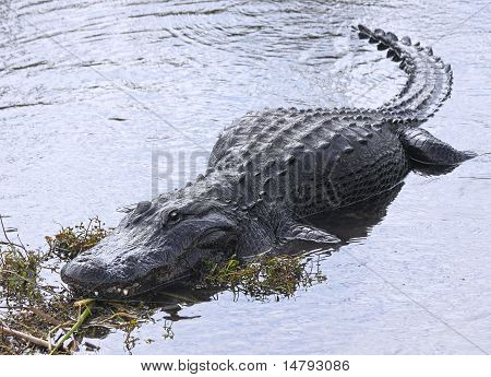 American Alligator -