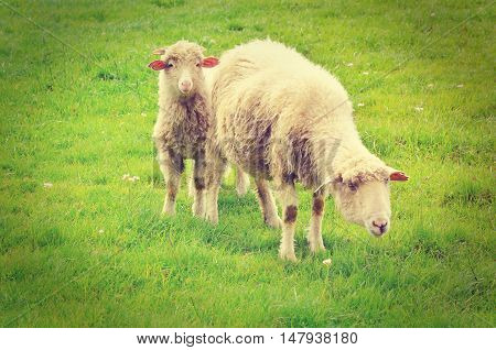 Sheep grazing in the mountains. Sheep on green spring meadow in vintage style.