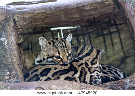 Ocelot Or Painted Leopard - Leopardus Pardalis