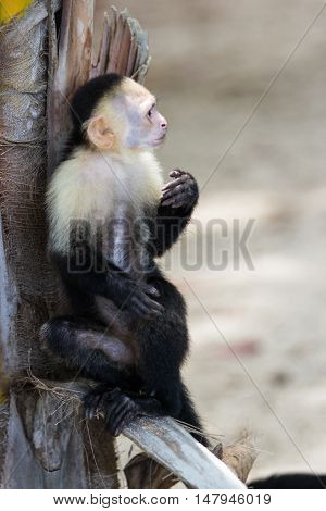 White Faced Or Capuchin Monkey