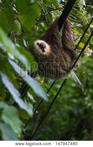 Sloth Hanging On Power Lines