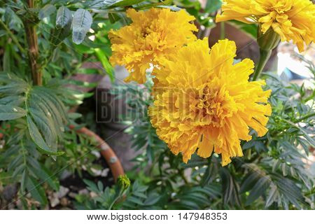 Marigold yellow flower. Beautiful  in the garden close up :Select focus with shallow depth of field.