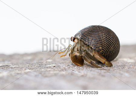 Smal Hermit Crab