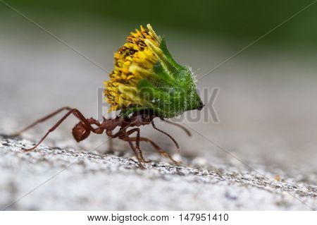 Leafcutter Ant With A Heavy Load