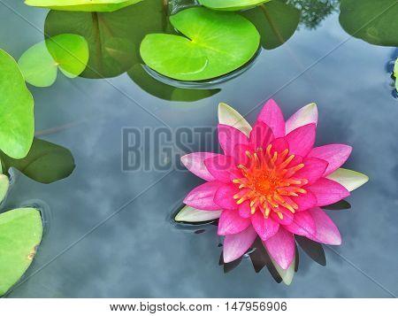 Vermillion and orange water lily in Thailand
