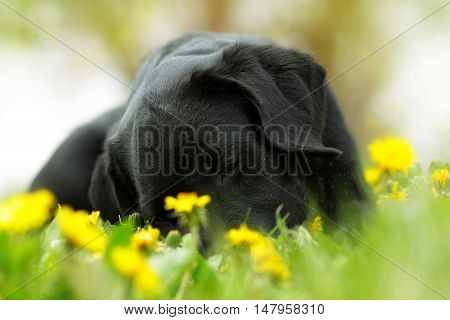 Beautiful purebred black Labrador puppy lying in the summer outdoors in the Park on a glade with dandelions. Good family dog resting on the grass